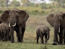 elephant-survival-organization-2-e1475777704304-227x173